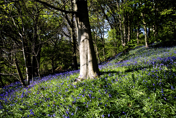 Bluebells in Middleton Woods