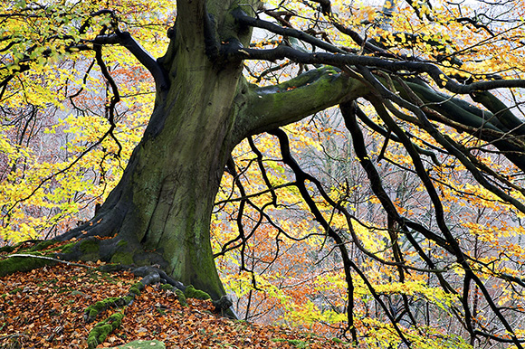 Autumn Tree Bolton Abbey by Mark Sunderland