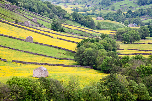 Field Barns in Buttercup Meadows near Thwaite