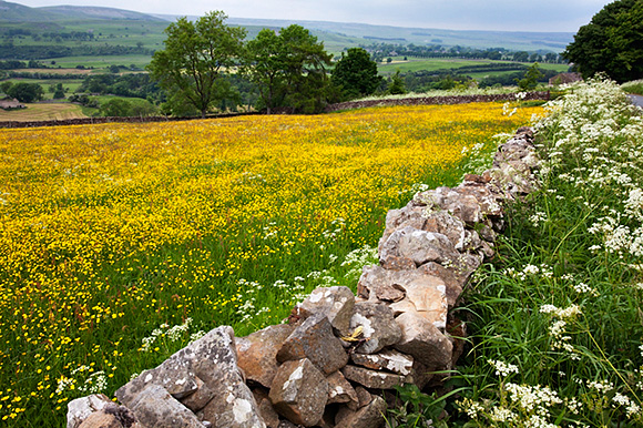 Buttercup Meadow in Wensleydale