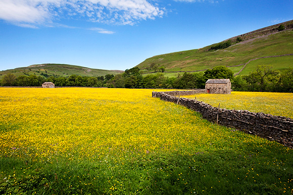 Field Barns and Buttercup Meadows at Muker in Swaledale