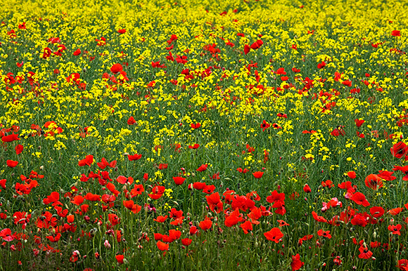 Poppies in an Oilseed Rape Field near North Stainley