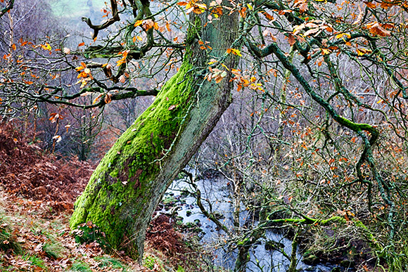 Autumn Tree in the Valley of Desolation, Bolton Abbey