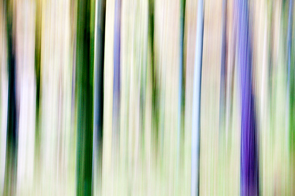 Abstract Pine Trees in Woodland near Grange