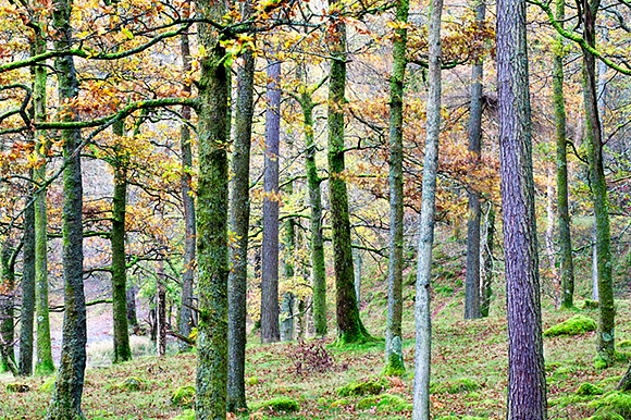 Pine Trees in Woodland near Grange Borrowdale The Lake District
