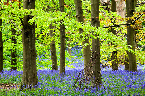 Twigs against a Tree and Bluebells in Middleton Woods in Spring