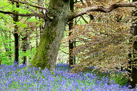 Bluebells and Spring Foliage in Middleton Woods Ilkley