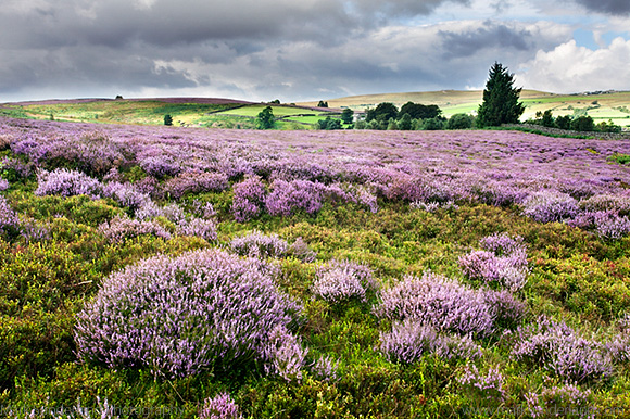 Heather in Bloom on Nought Moor near Pateley Bridge