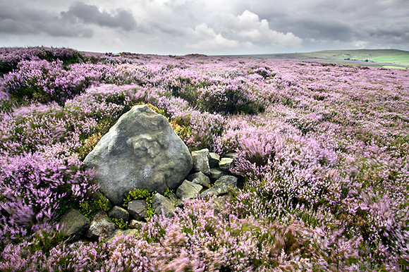 Stone and Heather Blowing in the Wind near Pateley Bridge