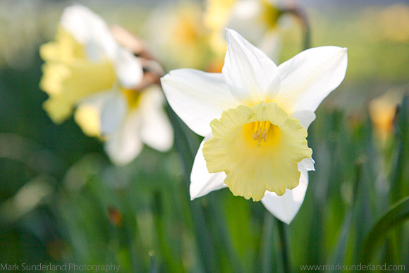 Daffodils on The Stray in Harrogate - Shallow Depth of Field at f5.6