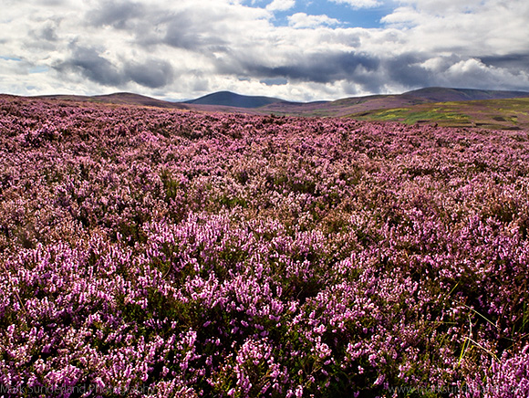 Heather Moorland and The Cheviot