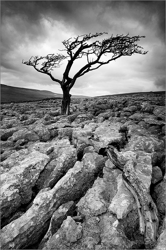 Lone Tree on Twisleton Scar by © Sam Oakes Photography