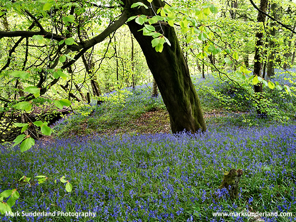 Bluebells near Harrison's Ford Seat