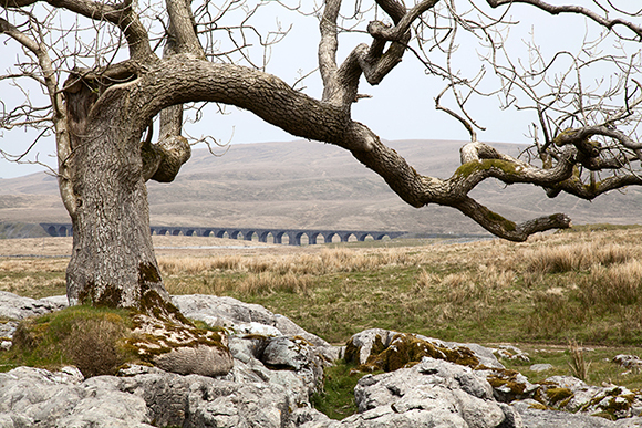 © sam oakes photography - Lone tree on limestone pavement