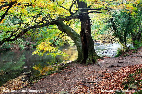 Beech Tree by the River Nidd in Nidd Gorge Woods