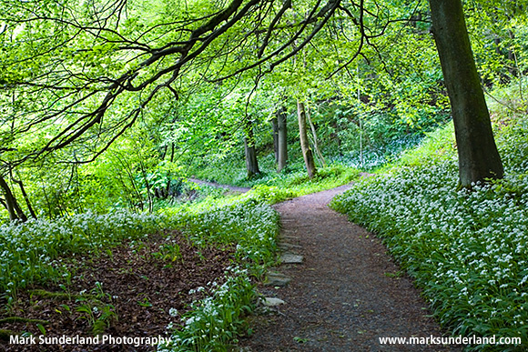 Wild Garlic Flowers in Strid Wood, Bolton Abbey