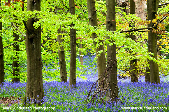 Bluebells in Middleton Woods in Spring