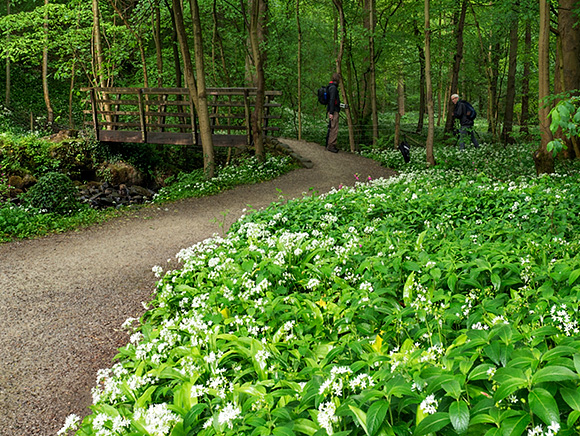 Wild Garlic Flowers by the Footbridge