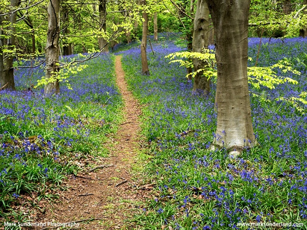 Path through Bluebells at Middleton Woods near Ilkley