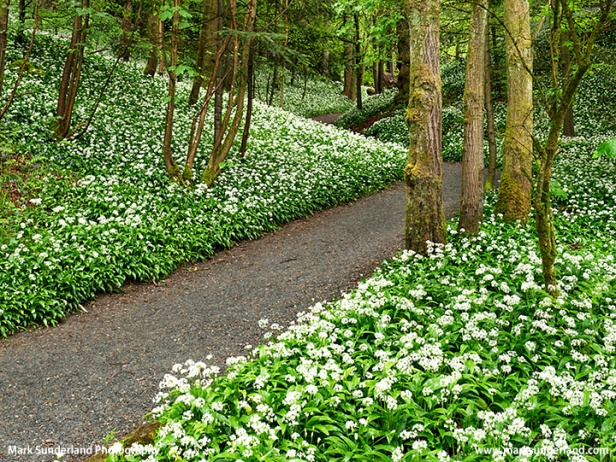 Wild Garlic Flowers in Strid Wood