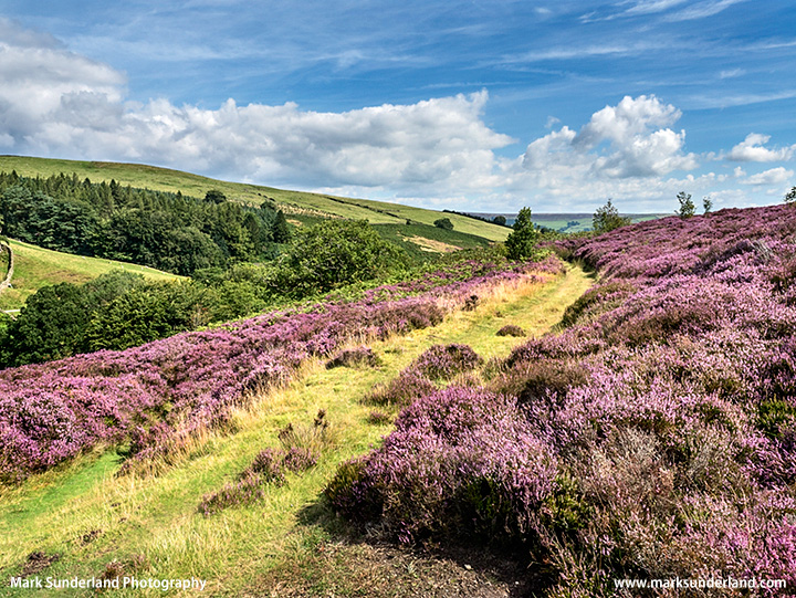 Heather along the Nidderdale Way