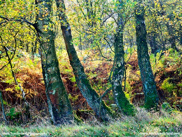 Birch Trees in Autumn at Guisecliff Wood