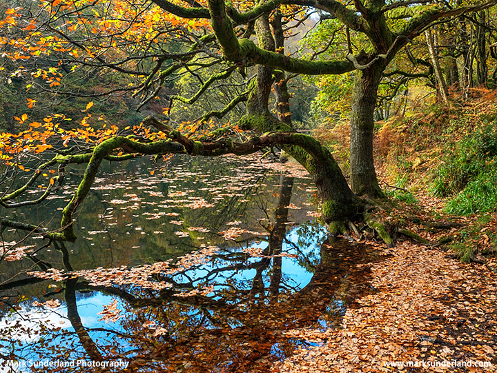 Autumn Oak Tree at Guisecliff Tarn