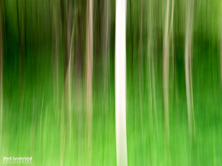 Abstract Birch Trees in Strid Wood