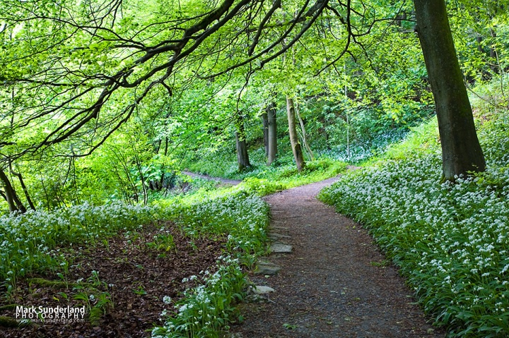 Wild Garlic Flowers by a Path in Strid Wood