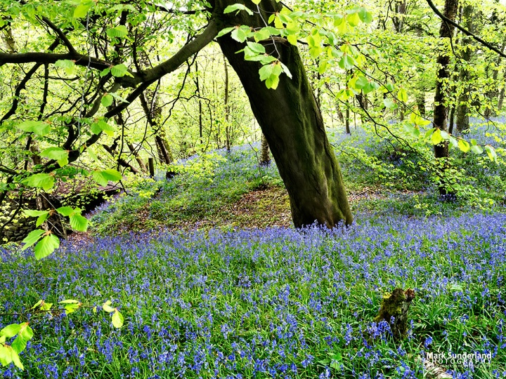 Carpet of Bluebells under a Spring tree in Strid Wood