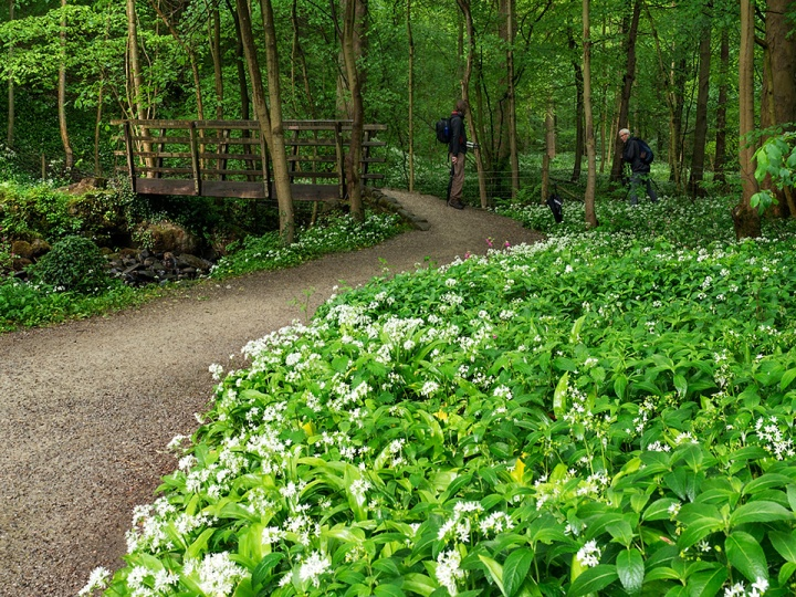 Wild Garlic Flowers by the Footbridge, May 2017