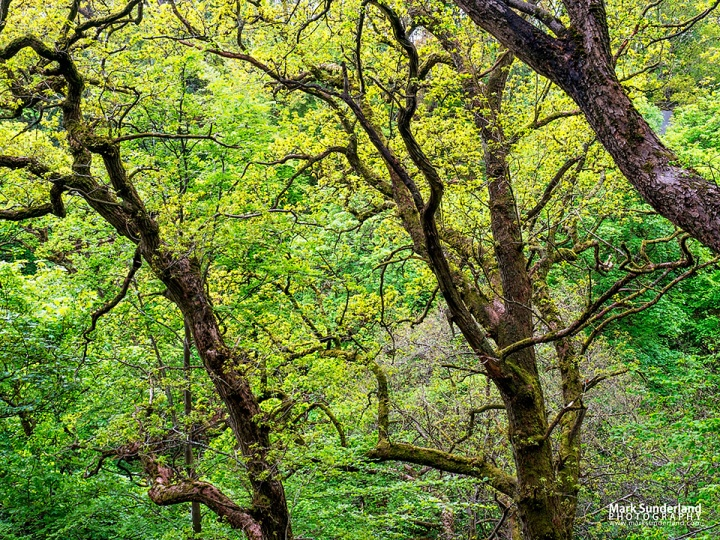 Oak trees in Spring in Strid Wood at Bolton Abbey